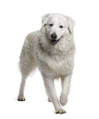 Maremma Sheepdog, standing in front of white background