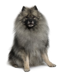 Front view of Keeshond dog sitting in front of white background