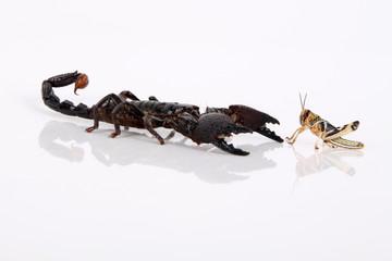 Kaiserskorpion mit Beute