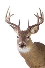 Large whitetail buck isolated on white background