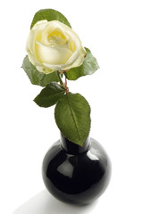 White roses, it is isolated on the white