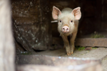 One little scared pig at farm
