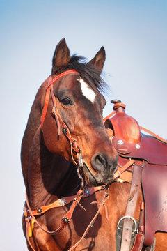 horse in western equipment