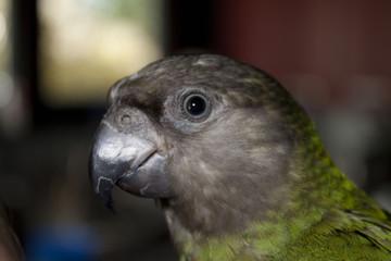 Acrylic Prints Parrot Poicephalus senegalus