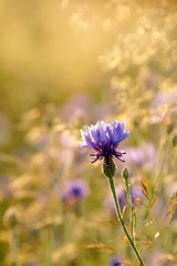 Fototapete - Cornflower