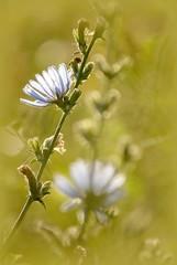 Fototapete - Blue wildflower