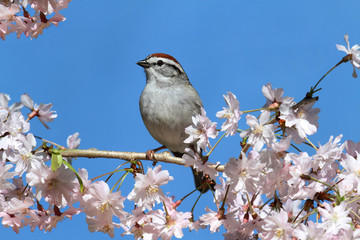 Fotoväggar - Chipping Sparrow With Cherry Blossoms