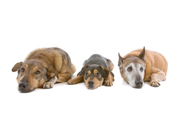 group of three mixed breed dogs isolated on white