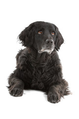 front view of a mixed breed dog (half setter)