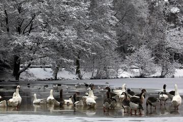 Goose on frozen pond