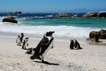 colony of penguins,South Africa