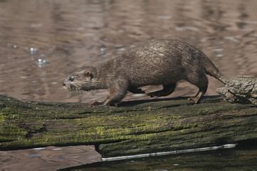 Oriental Short Clawed Otter