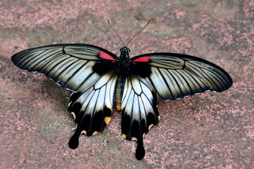 The Mormon Butterfly
