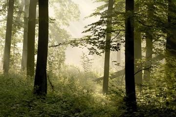 Keuken foto achterwand Bos in mist Sunbeams falls into spring forest