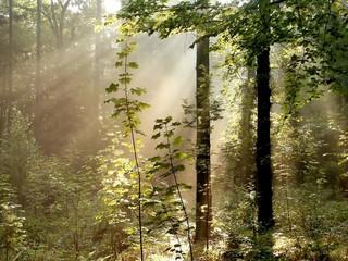 Keuken foto achterwand Bos in mist Sunlight falls into the misty woods