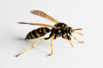 Wasp (Dolichovespula Vulgaris)