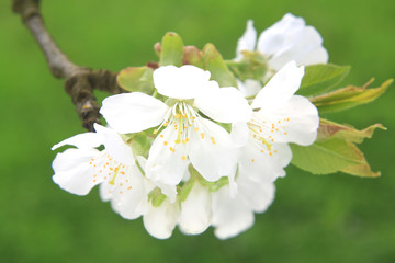 cherry blossom on green background
