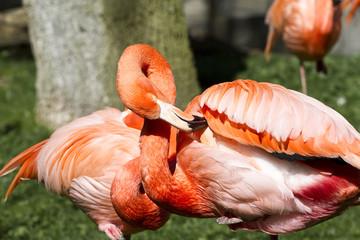 Flamingo portrait from ZOO
