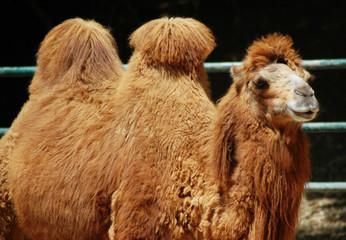 Printed roller blinds Camel camel