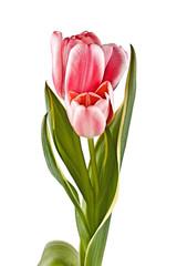 Tender flower, pink tulip