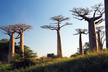 Field of Baobabs