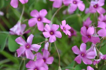 Trifoglio Fiore