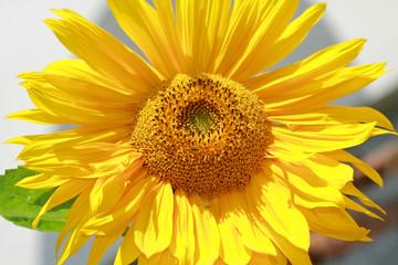 Single sunflower head