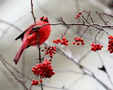 Red Cardinal on branch with berries