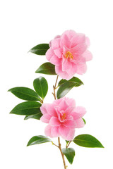 Camellia branch with two flowers