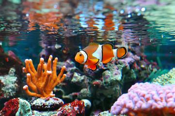 Foto auf Acrylglas Unterwasser Ocellaris clownfish