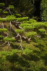 Big Juniperus Chinensis
