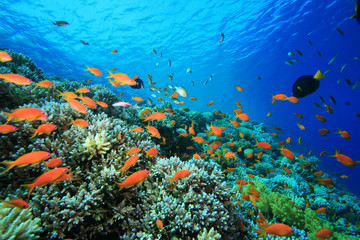 Pristine Coral Reef in the Red Sea