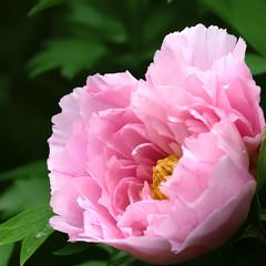 a beautiful pink peony flower