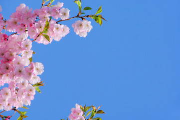 Kirschblüte rosa - cherry blossom 07