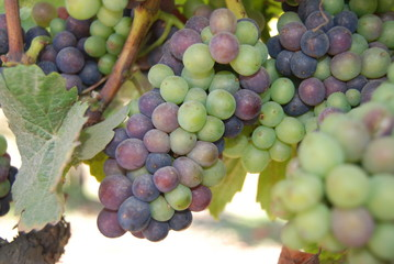 Grapes ripening in the California sun