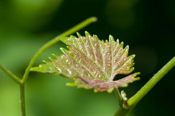 Branch of grape vine on blue background