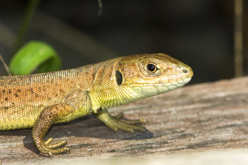 juvenile of green lizard (Lacerta viridis)