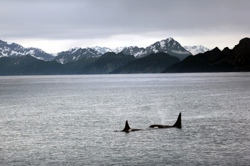 Orcas and mountain scene in Alaska