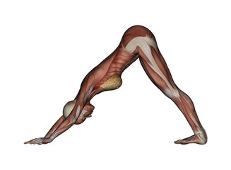 Yoga - Downward-Facing Dog Pose. Female Muscles