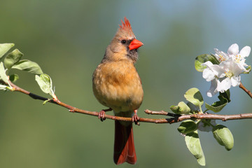 Female Northern Cardinal (cardinalis)