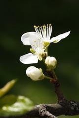 Prunus domestica / Zwetschgenblüte Z