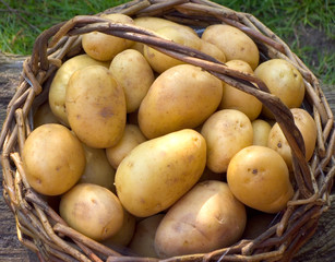 Kartoffelkorb im Garten