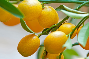 Kumquats am Baum