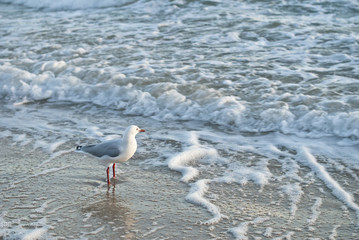 Seagull in foam with golden afternoon light