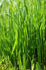Dew on  green grass