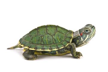 tortoice