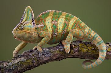 Walking Chameleon