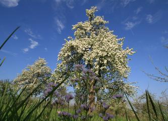 Obstbaum in voller Blüte