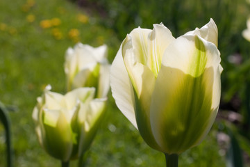 Green tulip. Focus on foreground