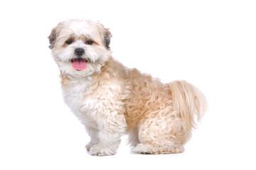 side view of a mixed breed dog (boomer) looking at camera